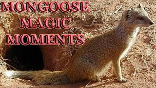 Baby Mongoose plays with their father - MONGOOSE MAGIC MOMENTS - TSEBOKOLODI MONGOOSES - CYNICTIS