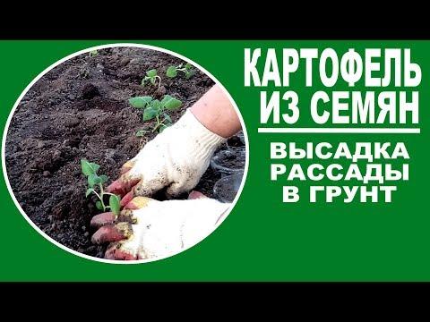 Выращивание картофеля из семян.  Часть 3 -  посадка рассады картофеля в открытый грунт