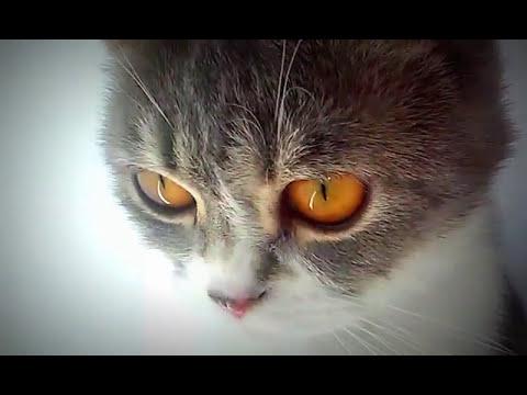 Как лечить десна кошке. We treat our cat British