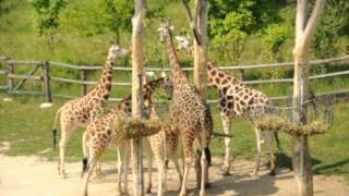 preview picture of video 'Giraffes at the Prague Zoo'