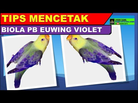 mp4 Lovebird Pb Euwing Violet, download Lovebird Pb Euwing Violet video klip Lovebird Pb Euwing Violet