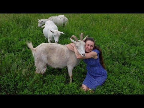 Судьба канала: козы, сыр, переезд//Первый стрим
