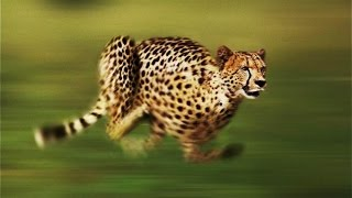 Cheetah - The Fastest Running Animal - National Geographic Full Documentary