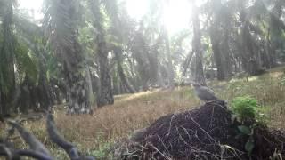 preview picture of video 'Terkukur Bagan Datoh Mari'