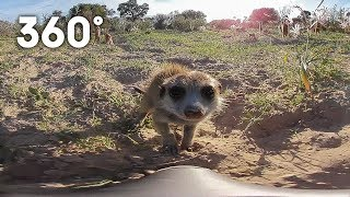 Funny meerkats playing in the desert 360 video | Animals with Cameras | Earth Unplugged