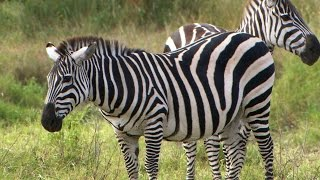 Are Zebras Black or White?