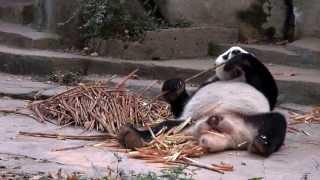 Panda Reservatet i Chengdu