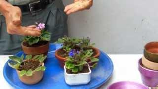 División de violetas enanas   2