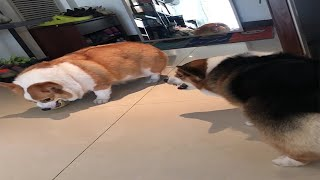 Chubby Corgi Dogs Sibling Rivalry Fight Goes On