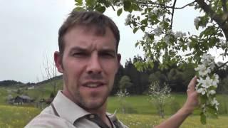 Obstbäume in voller Blüte, Apelbaum, Kirschen, Obstgarten, Streuobstwiese