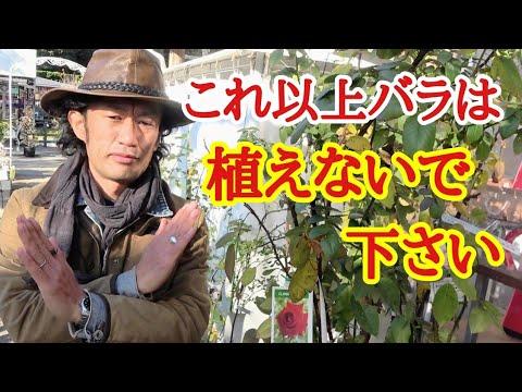 , title : '【バラ栽培するべき?】初心者はこれだけは知っておいて下さい【ガーデニング】【薔薇】【育て方】