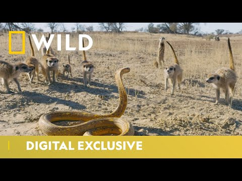 Cobra Vs. Meerkat | Wild Africa | National Geographic Wild UK