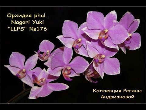 """ПРЕКРАСНОЕ ЦВЕТЕНИЕ phal.NAGORI YUKI """"LLPS"""" №176.Орхидеи.Орхидеи от Виолетты."""