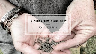 How To Plant Cosmos From Seeds