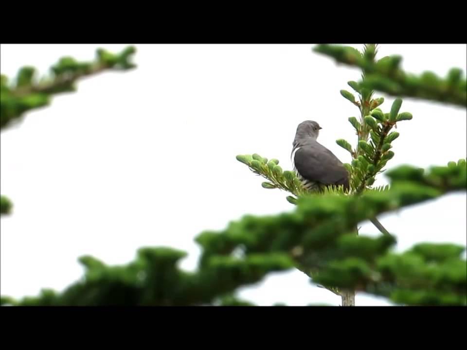 Lesser Cuckoo - Cuculus Poliocphalus