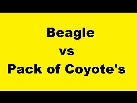 Coyote Vs Puppy Pet Dog And Coyotes Howl Fearless Pocket Beagle Breeder