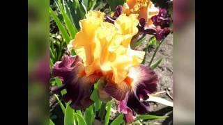 Ирис Strike a Rose от компании Рай цветов - видео