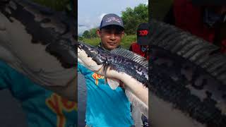 preview picture of video 'Giant Snakehead Kg. Beng Mini Amazon'