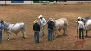 All American Owned Bull Show - Champion Drive