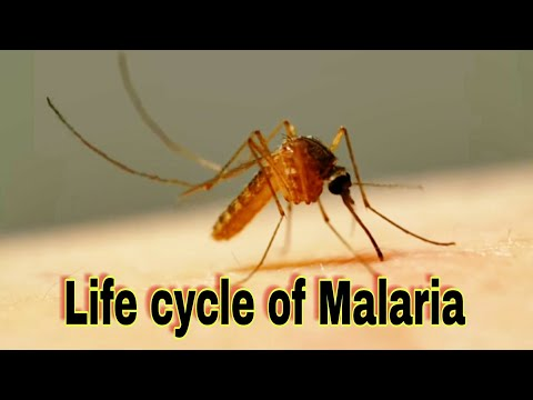 Life Cycle Of Malaria In Humans And Mosquito ||Ncert|| NEET || Prevention And Cure Mp3