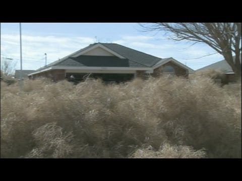Tons Of Tumbleweeds Invade And Bury City Near Roswell, New Mexico