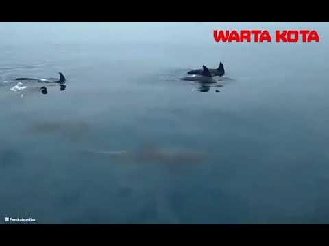 Kawanan Lumba lumba Berenang di Perairan Kepulauan Seribu