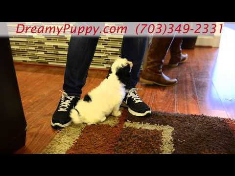 Adorable Cavachon Girl Puppy!