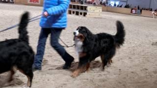 スイス発 犬のお披露目 2017ベルン見本市BEA②【スイス情報.com】