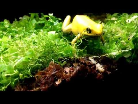 Golden Poison Dart Frog Eating a Waxworm