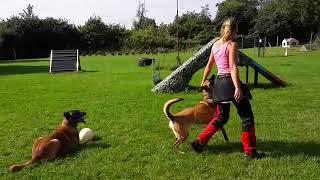 Training mit zwei Hunden