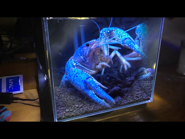 My ELECTRIC BLUE LOBSTER'S Dream Tank