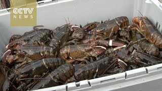 Maine lobster is catching on in China