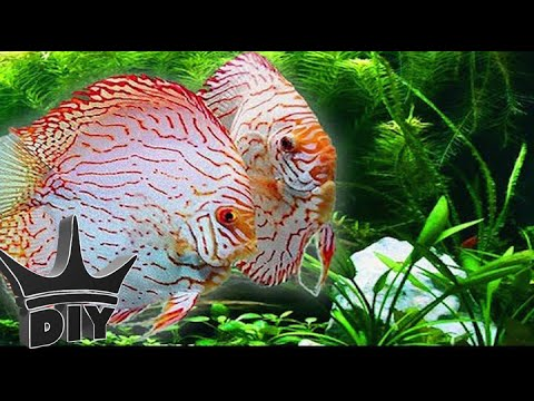 HOW TO: Keep Discus