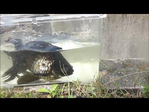 また出た!大きな琉金が用水路で遊泳しているのを捕まえた。