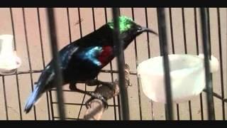 Kolibri Ninja Gacor Cocok Untuk Masteran Kacer Dan Murai - Durasi Panjang