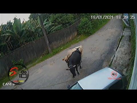 Touro ataca carro estacionado na rua