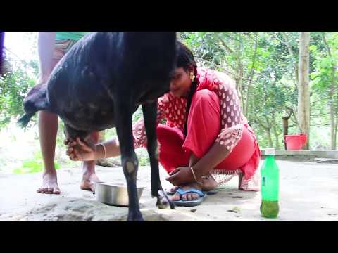 Goat Milk | Beautiful girl | Goat milk out of the breast | Dorojati Kholo