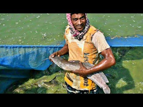 Catfish Fishing Hybrid Magur Fish Farming Business in India