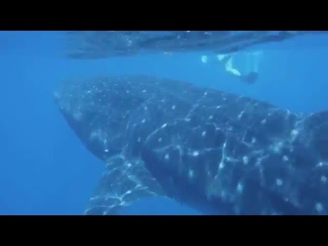 Swimming with Whale Sharks Isla Holbox