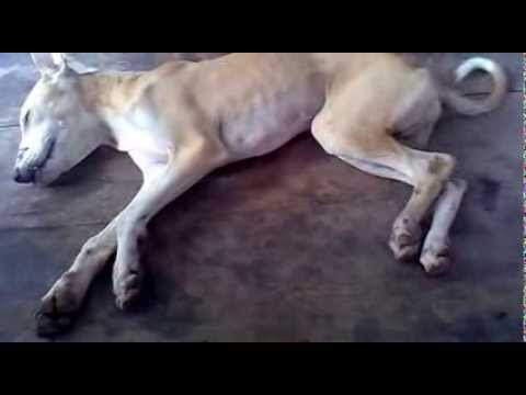 Video Canine Distemper-Symptoms Part -1