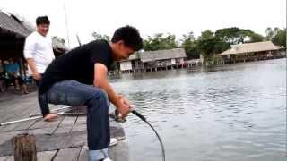Giant Mekhong catfish at Bungsamran Fishingpark Thailand Bangkok