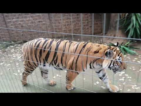 This is the Tiger video to watch !