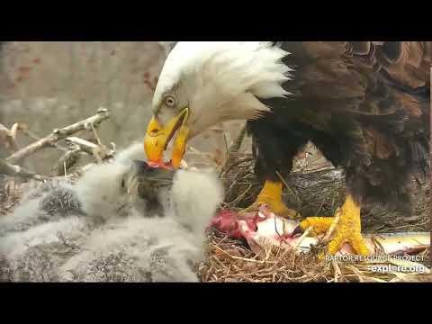 Decorah Eagles 4-21-20, 5 pm Fresh fish feeding