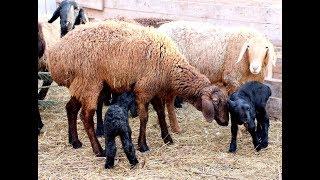 Овцы: болезни ЖКТ, дыхательных путей, копыт, глаз