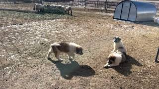 Great Pyrenees Puppies Videos