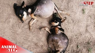 Two Poor Puppies with Symptoms of Bloat One Died, One Got Rescued and Forever Home