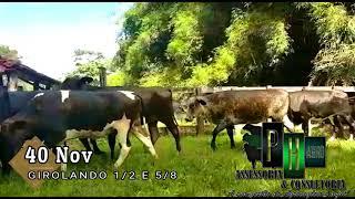 Bovino Leite Girolando Novilha - e-rural Imagens