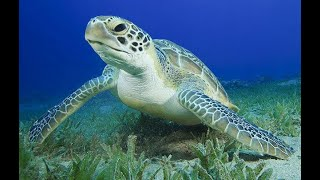 Green Sea Turtle Facts - Part 1