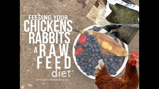 Feeding Your Chickens and Rabbits COMPLETELY on Scraps and Hay!