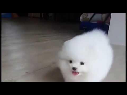 像棉花球的狗狗很療癒!